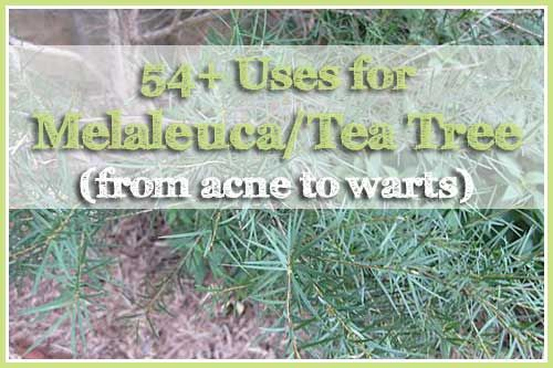 54+ Uses for Melaleuca Essential Oil (from acne to warts)