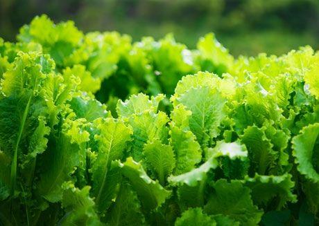 Köksträdgårdsväxter för skugga