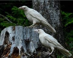 White Ravens Qualicum Beach, British Columbia  like ghosts
