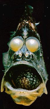 A little hatchet fish.