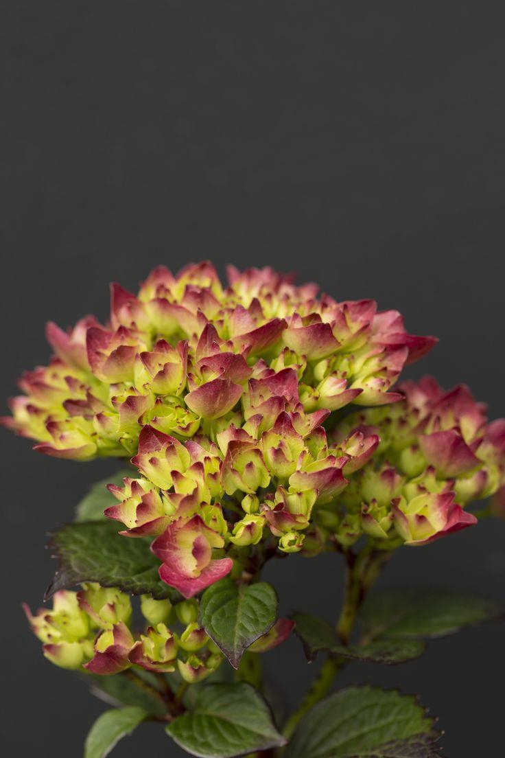 Hydrangea flower macro
