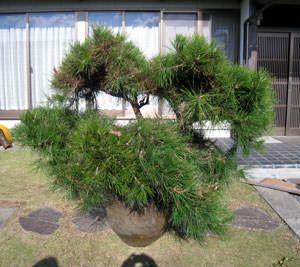 DVD 玉崎弘志の松の剪定と仕立て直し教室 | 庭木の剪定ドットコム