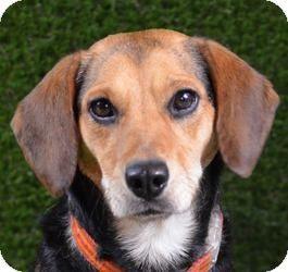 beagle shepherd mix | Beagle/Shepherd (Unknown Type) Mix Dog for adoption in Minneapolis ...