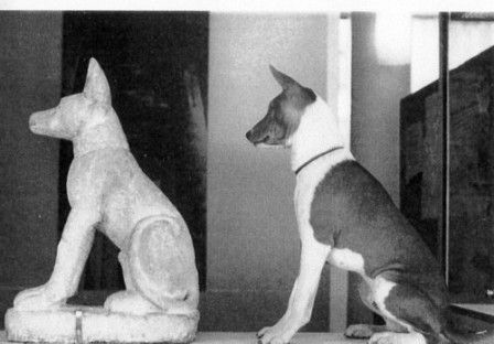 A small limestone Basenji sculpture, dating 1080 to 332 BC, Pergamon Museum in Berlin, with a modern day Basenji
