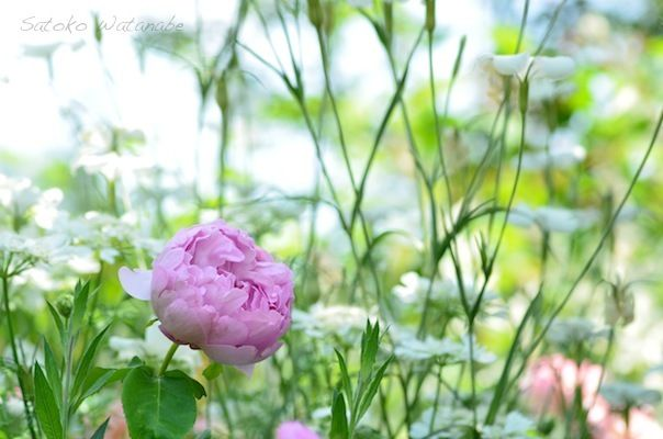 Rose チャールズ レニー マッキントッシュ(Charles Rennie Mackintosh) Rosa 'AUSren' 1988年 David Austin(UK) Shrub Rose, English Rose
