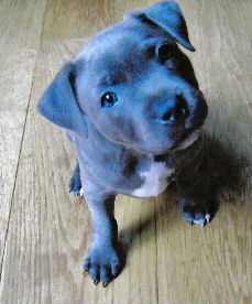 Blue Staffy Puppy I want one!!