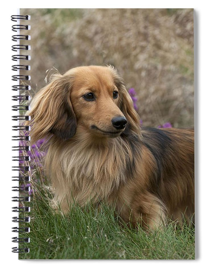 23+ Golden Long Haired Dachshund For Sale in 2020