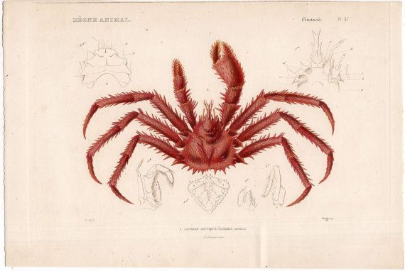 1836 king crab print original antique rare sea life ocean marine animal crustaceans. engraving - lithode arctique
