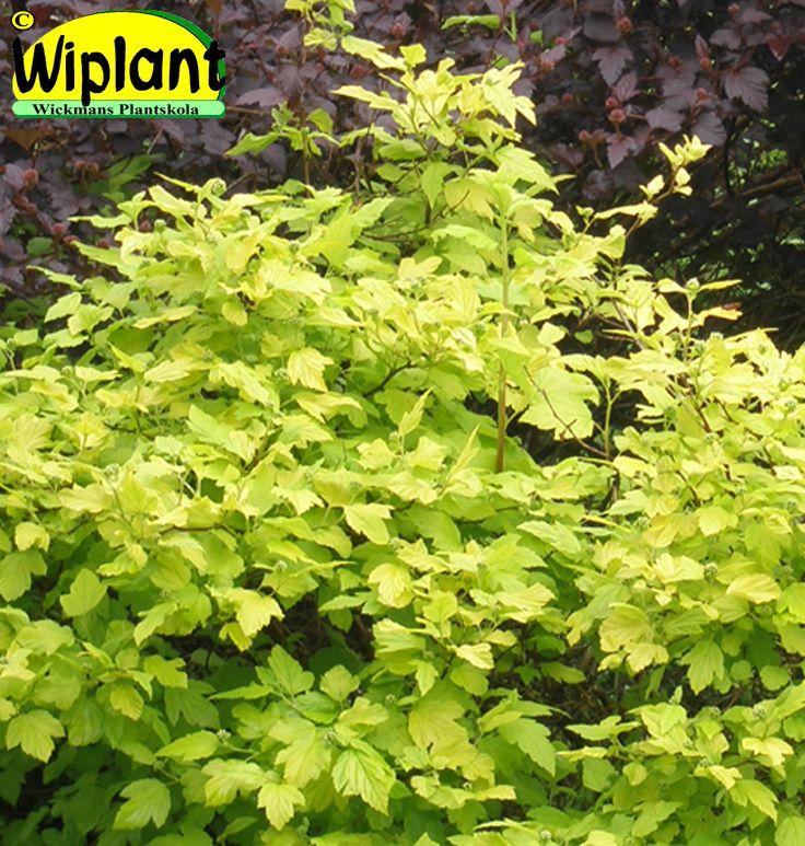 Physocarpus 'Dart's Gold', Smällspirea. Gulgröna lysande blad, vita blomklasar. Höjd: 1-1,5 m.