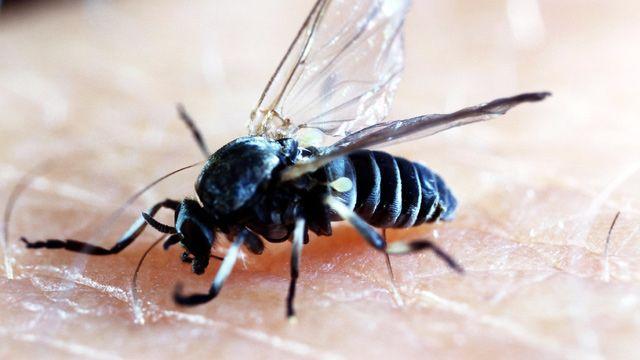 Was Sie Gegen Kriebelmucken Tun Konnen Kriebelmucken Insekten Juckreiz