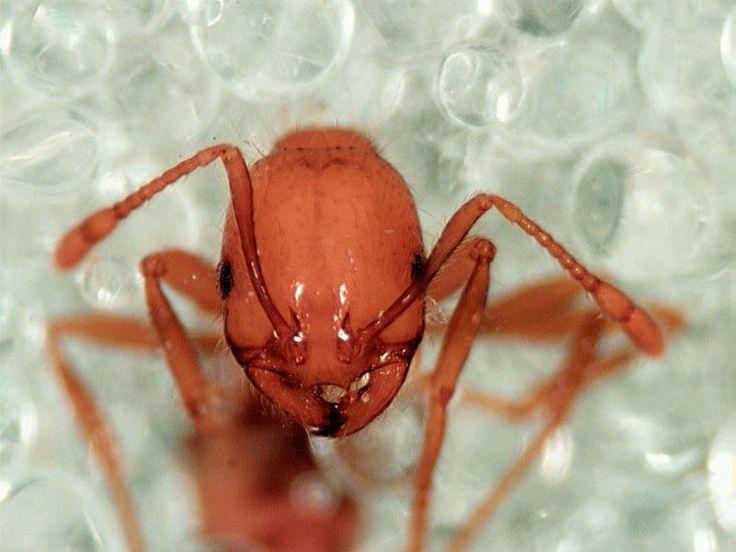 Fire ant venom inspires potential psoriasis treatment   FierceBiotech
