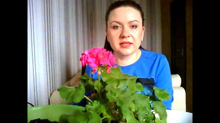Пересадка пеларгонии. Как добиться обильного цветения у пеларгонии, герани?