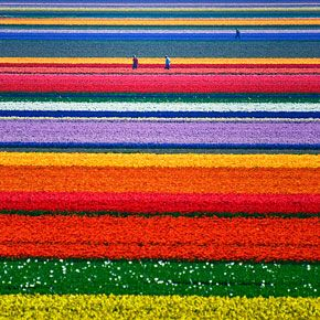 Amazing rows of flowers.