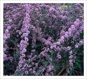 Buddleja alternifolia 'Argentea' | Lambley Nursery