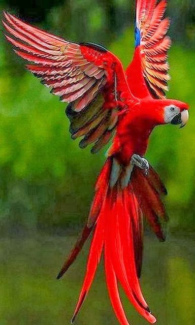 Parrot red bird Bokeh