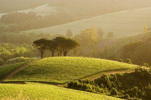 Five Soldiers, Chardonnay vineyard, Rustenberg Estate, Cape