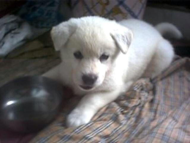 Jindo Dog (Baek Ho)