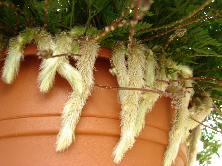 Rabbit's Foot Fern | houseplants! | Pinterest