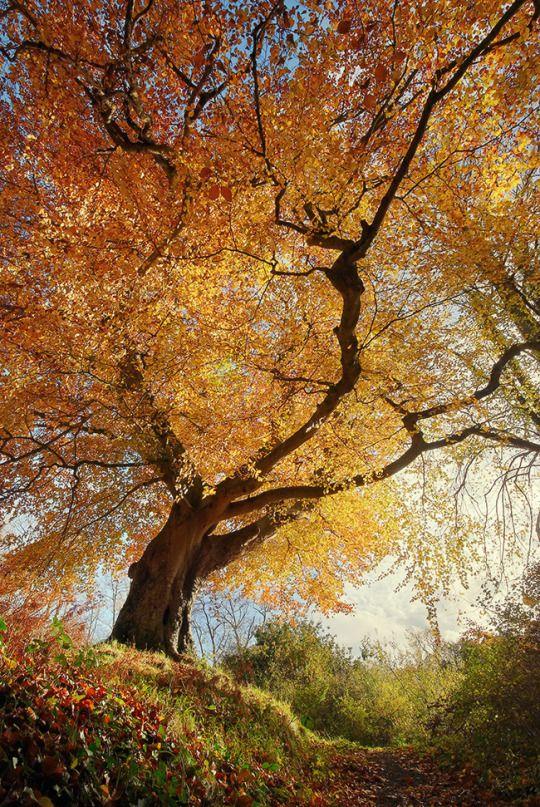 ⊕ radivs ⊕ Belvoir Tree from Below R by Gerard Callaghan