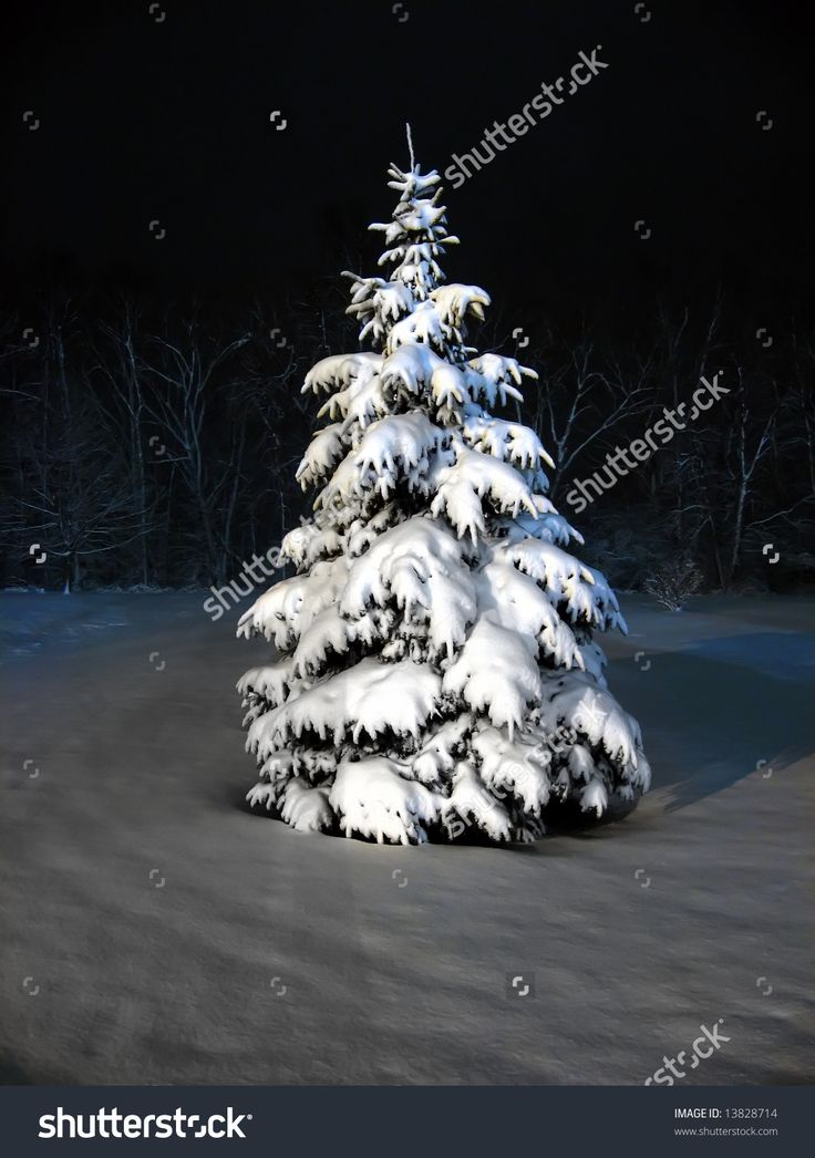 Snow covered pine tree at night stock photo 13828714 - Images of pine trees in snow ...