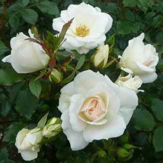 YORKSHIRE PRINCESS (Dicmouse) 2012        £8.50 A pure white spreading patio, 66 x 65 cm, with a soft pink blush at the centre.  Named to honour the life of HRH Princess Mary of Harewood.  The rose has an old fashioned charm and slight sweet fragrance.
