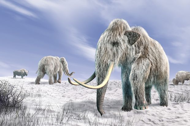 If they are asking us about cloning the Mammoth, that means they already have.  Why on earth would they ask.....seriously?