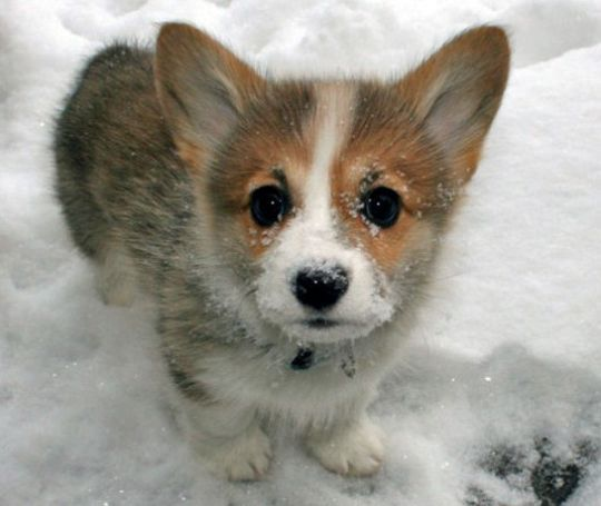 Welsh Corgi Puppy: Dogs, Welsh Corgi Puppies, Baby Corgi, Cutest Corgi, Pet, Snow, Cuti, Baby Animal, Corgi Baby