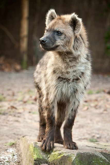 Famed hunters, spotted hyenas are skilled at taking down hardy beasts such as wildebeest or antelope. But this doesn't stop them from scavenging and dining on the leftovers of other predators.