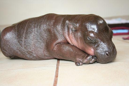 hippo!!!!!