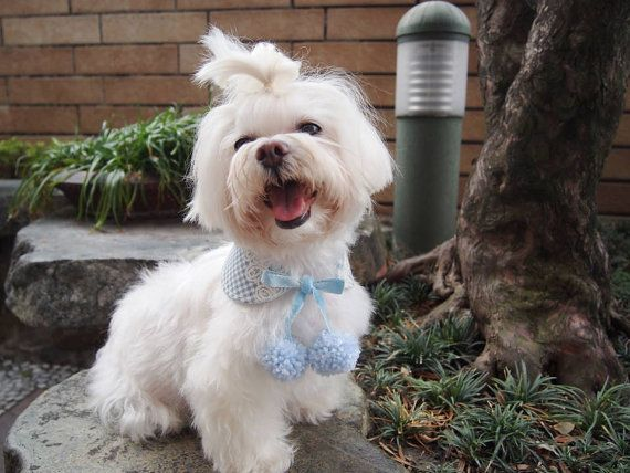 A really sweet and fun Peter Pan collar bandana for your little girl doggie! Peter Pan collar is a collar with round corners and always has a