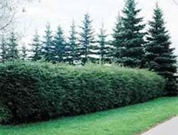 canadian hemlock hedge Perfect for privacy screens and hedges Plant 2' apart for hedge Can be sheared to any height or shape Tolerates both full sun and shade, prefers a balance of partial sun/shade