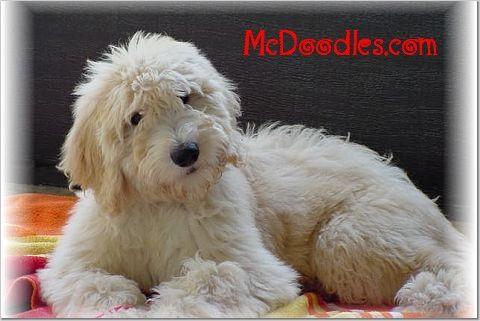Goldendoodles rock.: English Goldendoodle, English Doodles Dogs, Goldendoodle Rocks, Cutest Dogs, Cutest Things, Creek Goldendoodle, Big Dogs, Goldendoodle Dogs, Golden Doodles