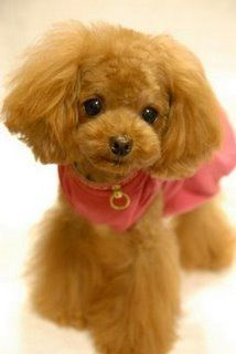 poodle in the teddy bear cut, so cute she looks fake