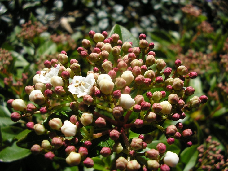 Image detail for daphne is among the most fragrant plants