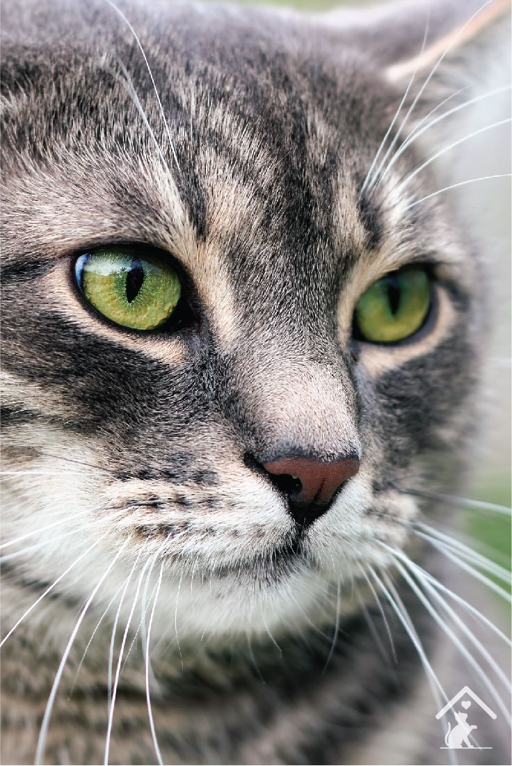 Australian Mist cats have beautiful green eyes and striped coats. Learn more about the breed by clicking the pin.