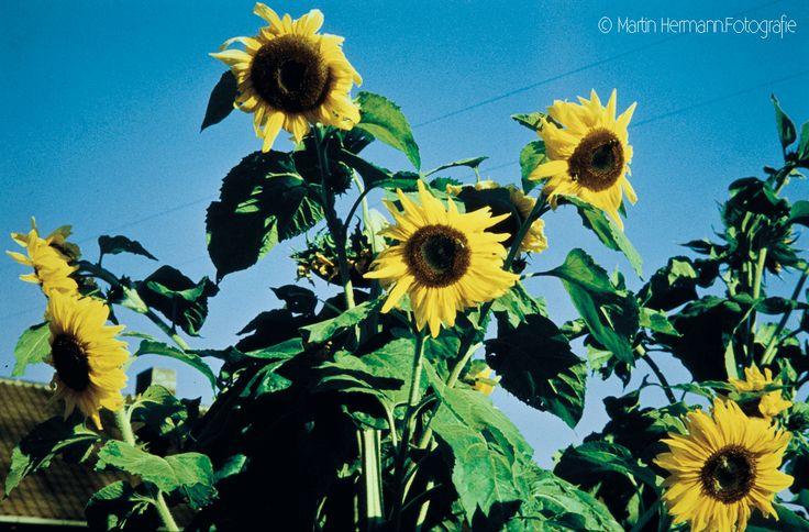 Sonnenblumen-(Freudenstadt-Oktober-1958)