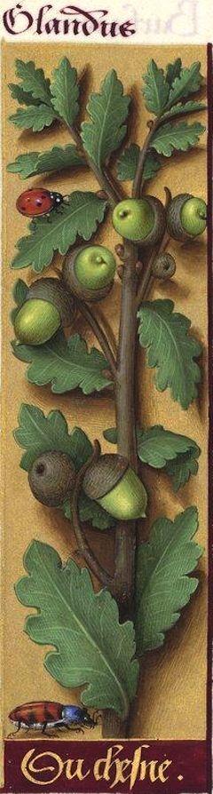 du Chesne - Glandus (Quercus sessiliflora Sm = glands de chêne rouvre) -- Grandes Heures d'Anne de Bretagne, 1503-1508.