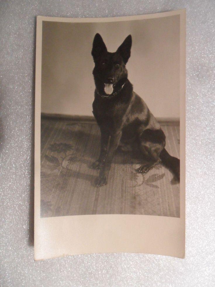 Foto schwarzer Hund Spitz Schäferhund Mischling Halsband 1955 Tiere