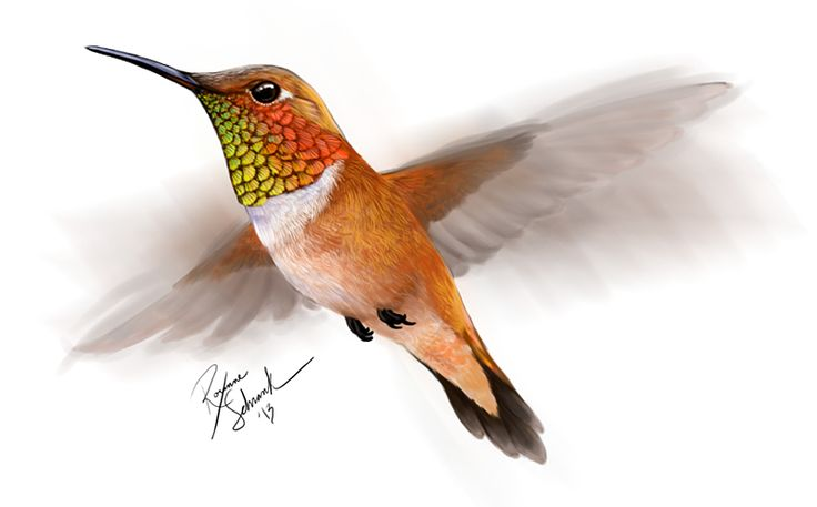 Rufous hummingbird drawing - photo#8