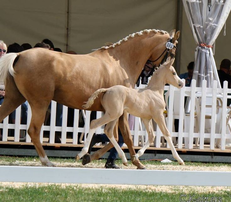 Dressage pony mare and foal