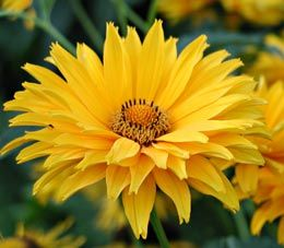 Heliopsis helianthoides var. scabra 'Spitzentänzerin' - Sonnenauge