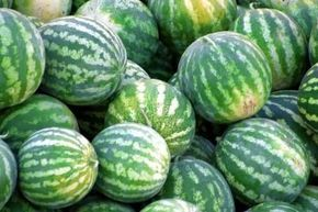 By trimming watermelon vines you encourage the plant to focus its energy on growing a few of the largest watermelons the variety allows, rather than growing several smaller melons. Before you can clip the vines, however, you'll want to know the appropriate place along the vine to trim and when to do so.