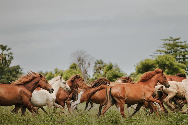 Sekelompok kuda di padang rumput di wilayah Mbrukulu, Sumba Timur. Kuda merupakan tokoh simbolik budaya yang teramat penting di Sumba.