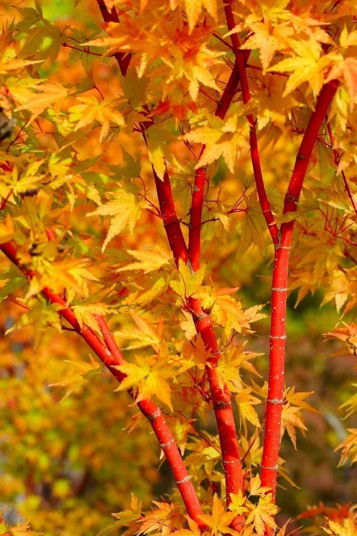 Acer Sango Kaku is widely known as the coral bark maple, this cultivar is popular due to its flaming, coral-red bark. The soft green leaves are a sharp contrast to the brilliant bark and in winter the shining stems stand out against the white d