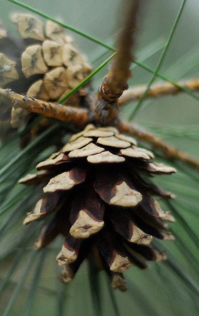 Pine cones, smell of pine and walking through the trees.