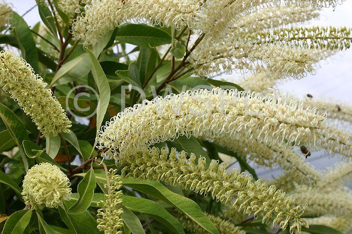 Buckinghamia, celsissima,  Ivory Curl tree