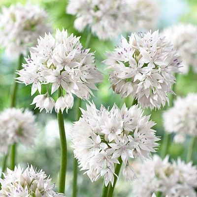 Allium amplectens - FEXIN Virághagyma Webáruház virághagymák, virághagyma rendelés, virághagyma, holland virághagyma, virág, gumós virágok, hagymás virágok, tavaszi virágok, nyári virágok, őszi virágok, különleges virágok, kerti virágok, cserepes virágok, dughagyma, tulipán, tulipánhagyma, tulipánok, nárcisz, amarillisz, díszhagyma, jácint, krókusz, virághagyma, virághagymák