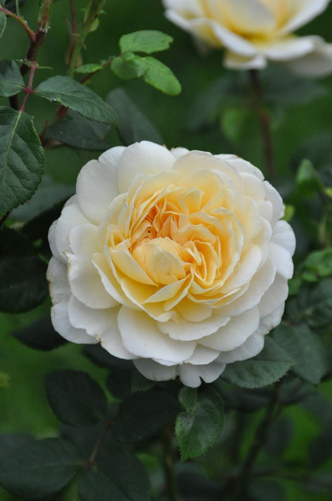 'Crocus Rose' |  Shrub.  English Rose Collection. Bred by David C. H. Austin (United Kingdom, 2000) | Flickr - © Mimmi Elg