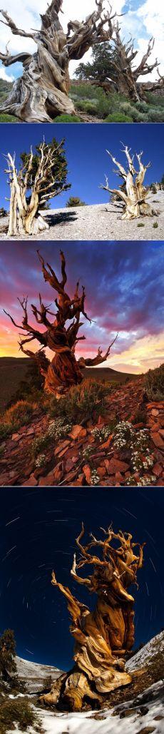 Самые старые деревья на земле - бристлеконские сосны - Путешествуем вместе