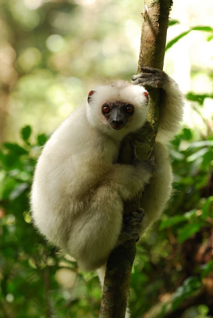 Uncategorized Madagascar Monkey 331 best the animals of madagascar images on pinterest lemur silky sifaka native to is in critical danger extinction animal lovers across east and